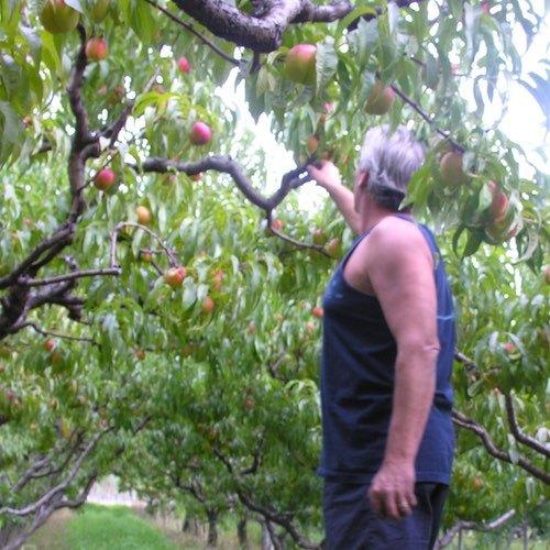 Ralph Picking Peaches - Langley Farmer's Market